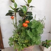店頭の植木たち